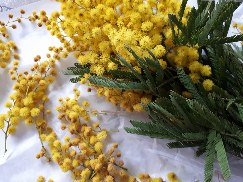 Da li znate legendu o cvijetu mimoze?